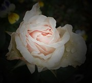 Rose Photos - Rose in the Dark by D J Larsen