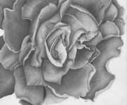 Rose Drawings Prints - Rose Print by Ina Digby