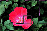 Digitally Altered Floral Posters - Rose Interrupted Poster by Teresa Blanton