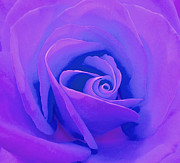 Rose Micro 4 Print by Cindy Lee Longhini
