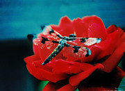 Rose Framed Prints - Rose Of A Dragonfly Framed Print by Kelly Rader