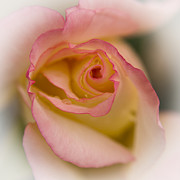 Chad Davis Acrylic Prints - Rose of Inner Beauty Acrylic Print by Chad Davis