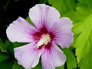Rose Of Sharon Framed Prints - Rose of Sharon close up Framed Print by Anita Burgermeister