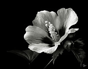 Rose Of Sharon Metal Prints - Rose of Sharon in Black and White Metal Print by Endre Balogh
