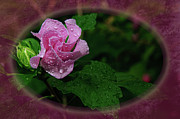 Droplet Digital Art Prints - Rose of Sharon Oval Frame Print by Andee Photography