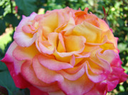 Flower Photographs Prints - Rose Pink Yellow Rose Flower 2 Rose Garden Giclee Prints Baslee Troutman Print by Baslee Troutman Fine Art Collections