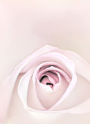 Close Up Floral Framed Prints - Rose Framed Print by Scott Norris