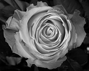 Metal Art Photography Posters - Rose Spiral Poster by James Bo Insogna
