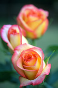 Pink Flower Prints Metal Prints - Rose Trio Metal Print by Kathy Yates