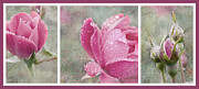 Floral Triptych Posters - Rose Triptych 1 Poster by Betty LaRue