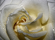 White Rose Posters - Rose with Drops Poster by Kristin Kreet