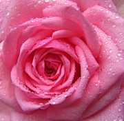 Large Format Prints - Rose with water droplets Print by Maria Malevannaya