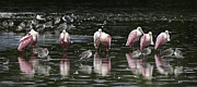 "\""reflection Photographs\\\"" Posters - Roseate Reflections - Spoonbill Nature Scene Poster by Rob Travis"
