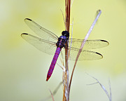Dragon Fly Framed Prints - Roseate Skimmer Dragonfly Framed Print by Al Powell Photography USA