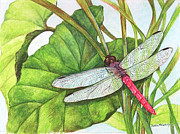Greens Drawings Framed Prints - Roseate Skimmer Dragonfly on Taro Leaves Framed Print by Janice  McCafferty