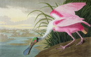 Pink Painting Prints - Roseate Spoonbill Print by John James Audubon