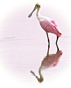Florida Wildlife Framed Prints - Roseate Spoonbill Framed Print by Vicki Jauron