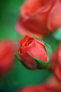Flower Photos Prints - Rosebud  Print by Kathy Yates