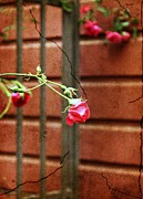 Roses - Rosebud on the fence by Cathie Tyler