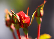 Miniature Photos - Rosebuds by Cheryl Young