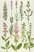 Cooking Painting Prints - Rosemary and other herbs Print by Elizabeth Rice