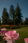 Glenn Franco Simmons - Roses and Redwoods by Glenn Franco Simmons