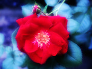 Red Rose Digital Art - Roses Are Red by Bill Cannon