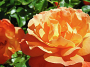 Orange Roses Prints - ROSES Art Prints Orange Rose Flower 11 Giclee Prints Baslee Troutman Print by Baslee Troutman Art Print Collections