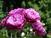 Purple Roses Photo Prints - ROSES Art Rose Garden Pink Purple Floral Prints Baslee Troutman Print by Baslee Troutman Fine Art Prints Collections
