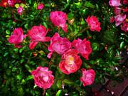 Roses Bush Print by Aleksandr Volkov