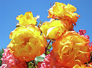 Orange Roses Prints - Roses Garden Summer art print Blue Sky Yellow Orange Print by Baslee Troutman Art Prints Photography