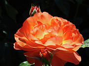 Flower Photographs Prints - Roses Orange Rose Flowers Rose Garden Art Baslee Troutman Print by Baslee Troutman Fine Art Collections