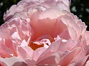 Flower Photographs Prints - ROSES Pink Rose Flower 2 Rose Garden Art Baslee Troutman Collection Print by Baslee Troutman Fine Art Collections