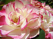 Flower Photographs Prints - Roses Pink White Rose Flowers 4 Rose Garden Artwork Baslee Troutman Print by Baslee Troutman Fine Art Collections