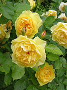 Yellow Rosebud Photos - Roses (rosa Sp.) by Tony Craddock