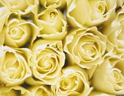 Studio Lighting Prints - Roses Print by Sandro Sodano