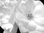 Rose Closeup Posters - Roses Soft Petals in black and White Poster by Jennie Marie Schell