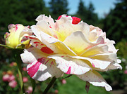 Flower Photographs Prints - Roses White Pink Yellow Rose Flowers 3 Rose Garden Art Baslee Troutman Print by Baslee Troutman Fine Art Collections