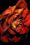 Rose Macro Prints - Rosey Hues Print by Bill Tiepelman