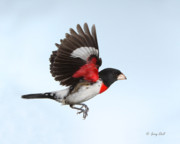 Birds In Flight Photos - Rosie The Grosbeak by Gerry Sibell