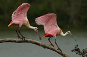 Mating Season Framed Prints - Rosiette Spoonbills Framed Print by Bob Christopher