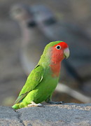 Peach-faced Lovebird Posters - Rosy-faced Lovebird Poster by Bruce J Robinson