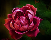 Red Rose Digital Art - Rosy Pink by Bill Tiepelman