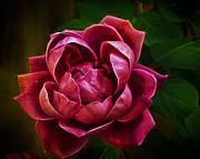 Rosy Pink Print by Bill Tiepelman
