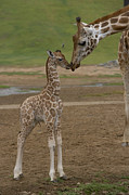 Young Giraffe Photos - Rothschild Giraffe Giraffa by San Diego Zoo