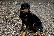 Rottweiler Dog Holding Stick In Mouth Print by Sally Weigand