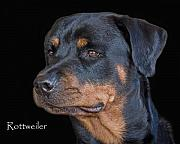 Akc Prints - Rottweiler Print by Larry Linton