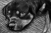 Sleeping Dog Drawings Prints - Rotty Print by Peter Piatt