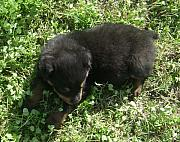 Lil Wayne Photo Originals - Rotweiller Puppy by GM Robert
