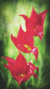 Decorativ Photo Metal Prints - Rouge Metal Print by Angela Doelling AD DESIGN Photo and PhotoArt